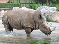 Rhino gets wet in water Royalty Free Stock Photo