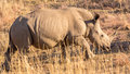 A rhino grazing in the dry savannah lands of pilanesberg national park south africa Stock Photo