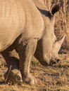 A rhino grazing in the dry savannah lands of pilanesberg national park south africa Royalty Free Stock Photography