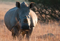 Rhino grazing early morning photo of a large caught with food in its mouth Stock Images