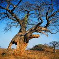 Rhino in the hollow of baobab tree Royalty Free Stock Photo