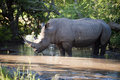 Rhino in Kruger Park Royalty Free Stock Photo