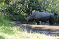 Rhino in Kruger Park Stock Photos