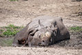 Rhino large adult lying in water on a hot day Stock Photo