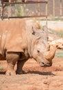 Rhino in national park family rhinocerotidae Stock Photo