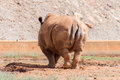 Rhino in national park family rhinocerotidae Royalty Free Stock Image