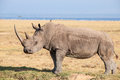 Rhino in the national park lake nakuru Stock Image