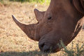 Rhino a rhinoceros grazing in south africa s madikwe game reserve Royalty Free Stock Photo