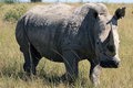 Rhino, rhinoceros, Kruger national Park. South Africa
