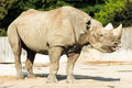Rhino rhinoceros zoo animal wild Royalty Free Stock Photo