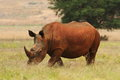 Rhino in south africa Stock Photo