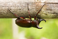 Rhino stag beetle close up of insect in the nature Stock Images