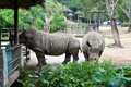 Rhino in thailand zoo horn animal wild wildlife ungulate rhinocerous mammal hide herbivore asia africa herbivore big safari park Stock Images