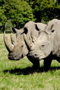 Rhino two is standing and looking on green grass Stock Photos