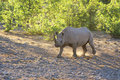 Rhino walking at dawn Royalty Free Stock Image