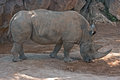 Rhino white rhinoceros or square lipped rhinoceros ceratotherium simum bioparc valencia spain Stock Photos