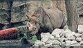 Rhino in Zoo Royalty Free Stock Photo