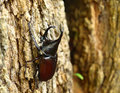 Rhinoceros Beetle Royalty Free Stock Photography