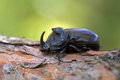 The rhinoceros beetle Royalty Free Stock Images