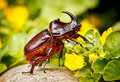 Rhinoceros beetle closeup of a Stock Photo