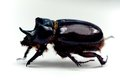Rhinoceros beetle or dynastinae, of the scarab family Royalty Free Stock Photos