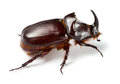 Rhinoceros beetle isolated on white Stock Images