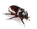 Rhinoceros beetle isolated on white Royalty Free Stock Photography