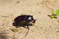 Rhinoceros beetle in the natural environment ngwe saung beach myanmar burma Stock Image