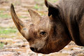 Rhinoceros black rhino closeup shoot in asia Stock Photography
