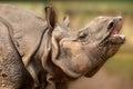 Rhinoceros closeup Royalty Free Stock Photo