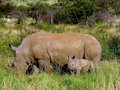 The rhinoceros cow and a small rhinoceros Royalty Free Stock Photo