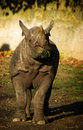 Rhinoceros eating grasss Royalty Free Stock Photography