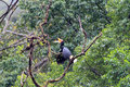 Rhinoceros Hornbill Royalty Free Stock Photo