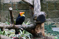Rhinoceros hornbill is one of the largest hornbills Royalty Free Stock Images