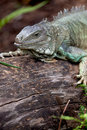 Rhinoceros Iguana (cyclura cornuta) Royalty Free Stock Photo
