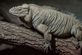Rhinoceros iguana Cyclura cornuta Royalty Free Stock Photo