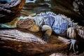 Rhinoceros Iguana (Cyclura cornuta) Royalty Free Stock Photo