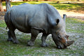 Rhinoceros in natural environment Royalty Free Stock Photo