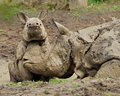 Rhinoceros often abbreviated as rhino playing in the mud mother and baby Royalty Free Stock Photos