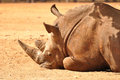 Rhinoceros rhino lying on the ground in safari park israel Stock Photos