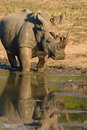 Rhinoceros a roaming reaches a waterhole Stock Photo