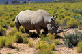Rhinoceros in safari park south africa Stock Photography