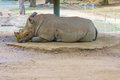 Rhinoceros sleeping Royalty Free Stock Photo