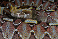 Rhinoceros viper Royalty Free Stock Photography