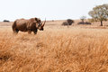 Rhinoceros white in bushveld south africa Stock Photos