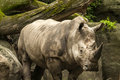 Rhinoceros in the wild with trees and rocks in the background Royalty Free Stock Photo