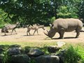 Rhinoceros and zebras friend at the zoo Royalty Free Stock Photo
