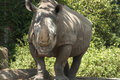 Rhinoceros in zoo front view full size Royalty Free Stock Photo