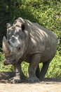 Rhinoceros in zoo front view full size Stock Photo