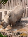 Rhinoceros in the zoo a a pool Royalty Free Stock Images